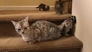 Dwarf breed cat & kittens.