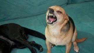 Как чихают животные ? (Прикол)