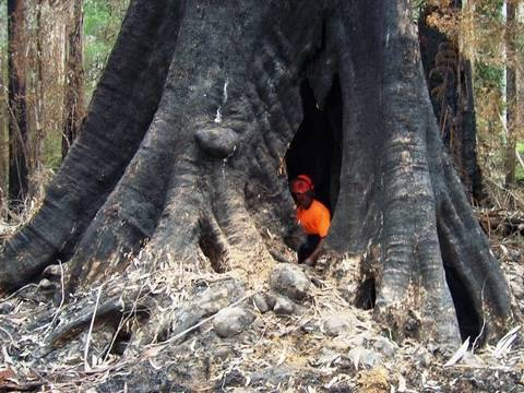 Dangerous Tree Cutting, Tree Climbing, Big Tree Felling by Ace Tree