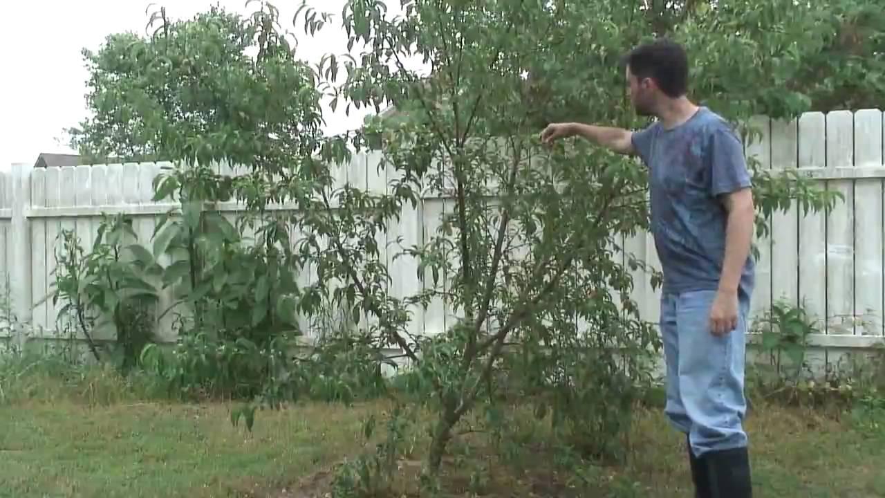 Peach Tree: Contender