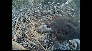 Big Bear Eagle Cam ~ Mom Serves Up Frozen Fish Fillets 2.21.18