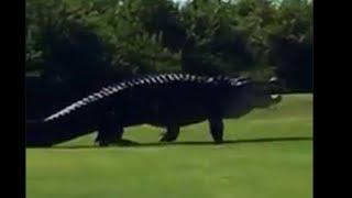 "Giant gator named ""Chubbs"" at it again"