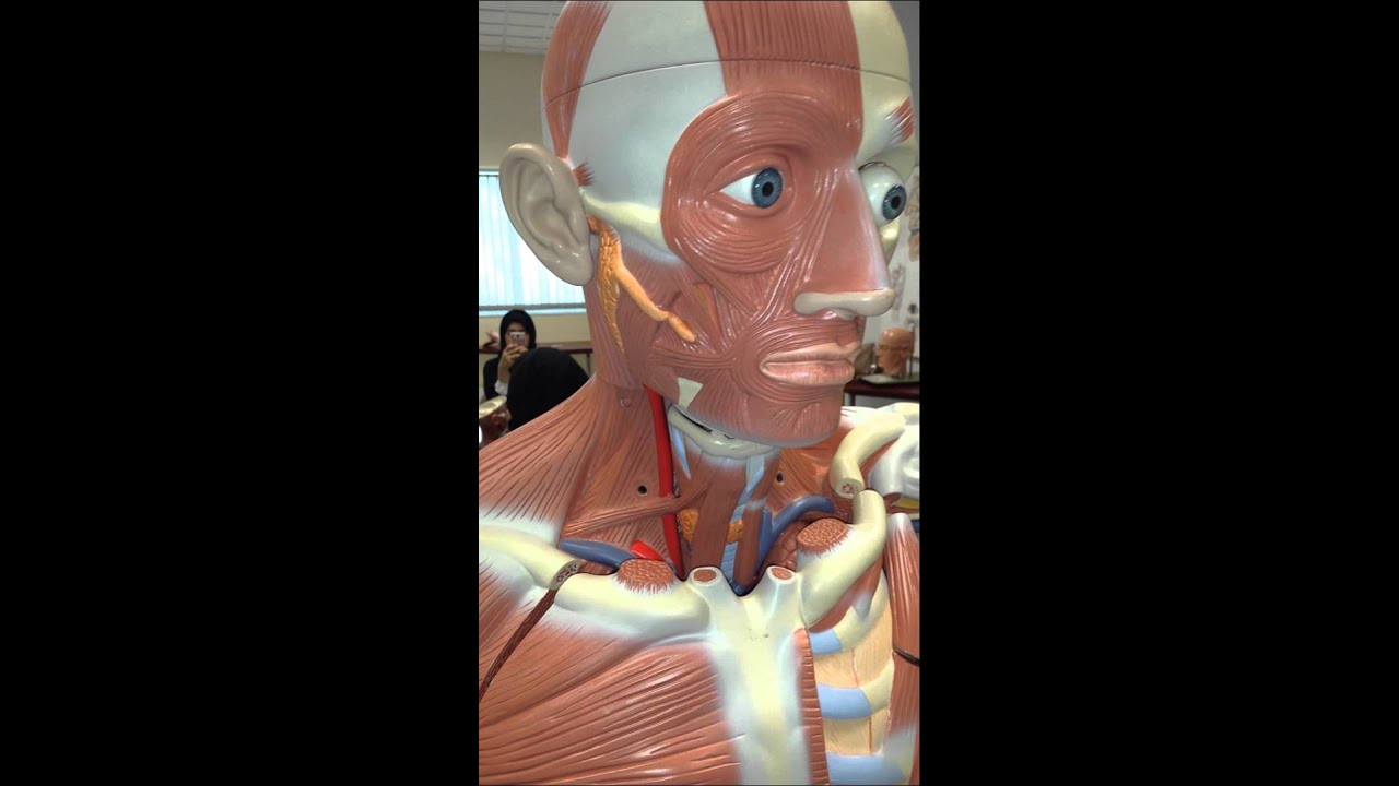 Muscles of the Face - Anatomy Lab - YouTube