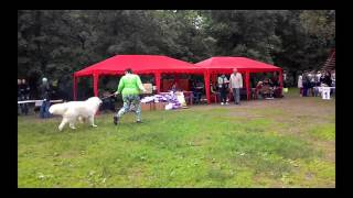 Пиренейская горная собака YAKOGOR SHATENUA