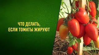 Что делать, если томаты жируют