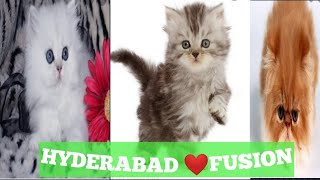 All Types of PERSIAN KITTENS & CATS for Home Pets for Sale in Hyderabad|Contact 9247877251, hyderbad