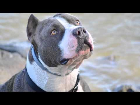 American Staffordshire Terrier - ASTOR (7) 2 év