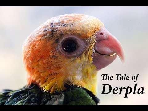THE TALE OF DERPLA – The Parrot that refused to die