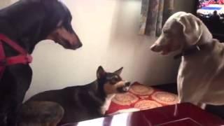 外では他の犬と遊ばないのに、新しいワンちゃんとは起きた瞬間から大騒...