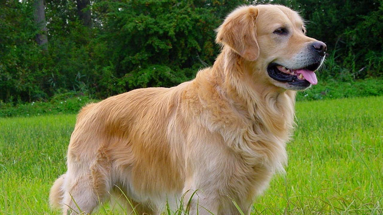 What Are Retriever Dog Breeds