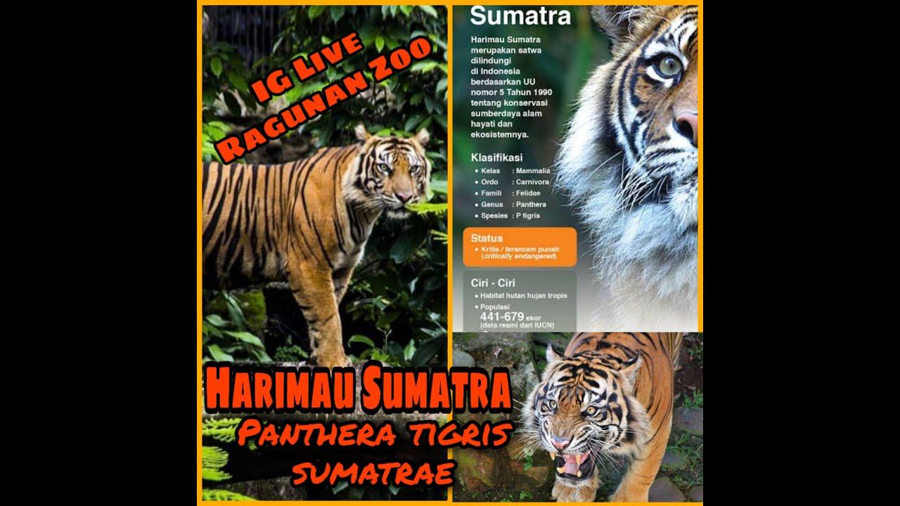 Ig Live Ragunan Zoo Mengenal Harimau Sumatra Panthera Tigris Sumatrae Youtube