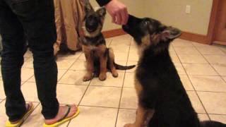 Augusto's Puppy Training.