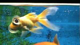 Аквариумная рыбка (телескоп).(Эти глаза напротив., 2012-05-18T17:01:36.000Z)
