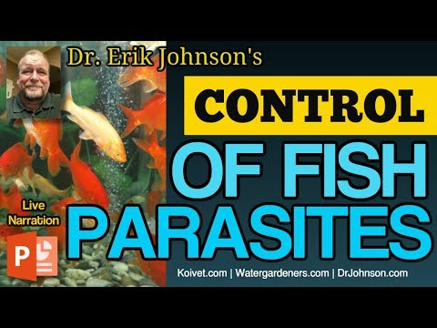 Symptoms, Identification and Control of Parasites like Ich, Flukes and Lice