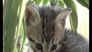 Egyptian mau's kittens / египетская мау с котятами