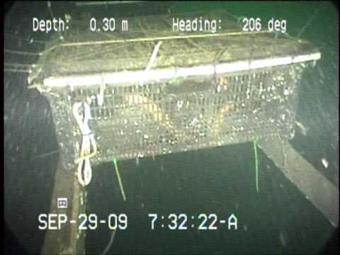 Kyuquot Multi Trophic Aquaculture underwater footage