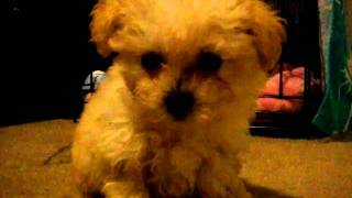 Maltipoo Kaelani Wants Out Of Crate