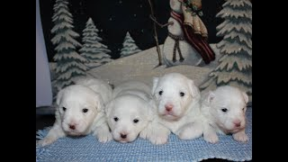 Coton Puppies For Sale - Emma 12/3/19