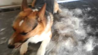 How Much Fur Does A Corgi Shed?