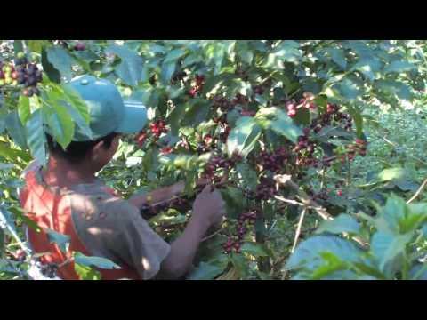 Origin_Specialty Coffee In The Guatemala Highlands