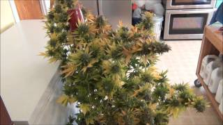 Chemdawg - Humboldt Seed Organization - ready for harvest 11222013
