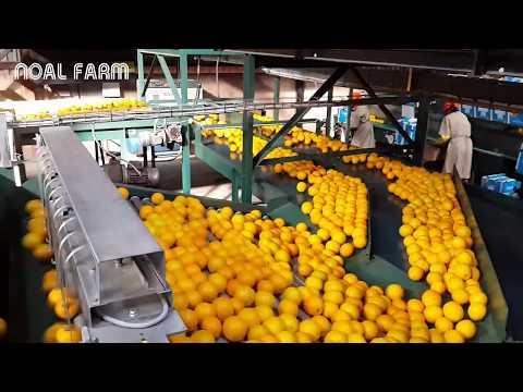 Amazing Food Processing Machine - Oranges, Grapefruit, Tangerine Processing Line Packing