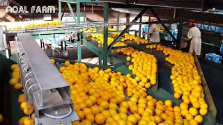 Amazing food processing machine - Oranges, Grapefruit, tangerine processing line packing