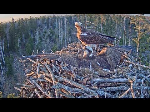 Ospreys vs crows / Estonian Osprey nest