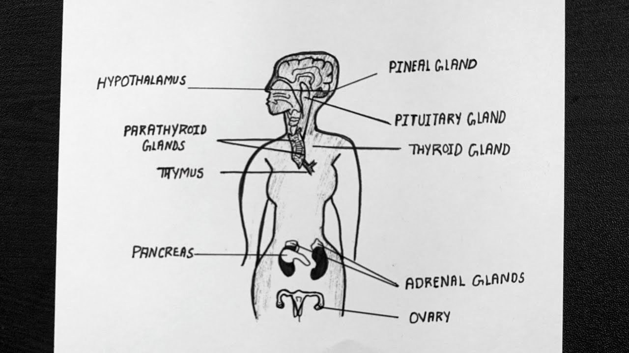 Diagram Of Endocrine Glands In Female How To Draw Endocrine