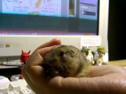 chirp of Steppe Lemming