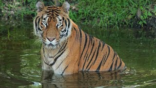 Circus Tiger: A Rescue Story