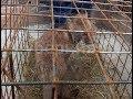 Лисенка нашла женщина в Хабаровском районе. MestoproTV