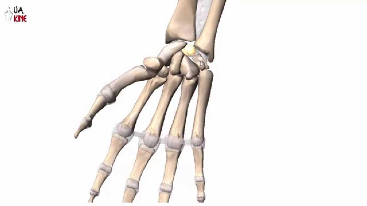 Anatomía de la Mano - Fisioterapia - Osteologia - YouTube