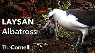 Cornell Lab   Kauai Laysan Albatross Cam