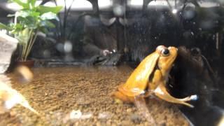Sambava Tomato Frog.Too Strange!『変な生き物』サビトマトガエル。