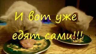 Как начинать прикорм котят.