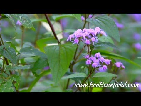 EcoBeneficial Tips: Late Season Native Plants for Shade at Mt Cuba Center