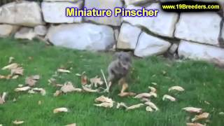 Miniature Pinscher, Puppies, For, Sale In Toronto, Canada, Cities, Montreal, Vancouver, Calgary
