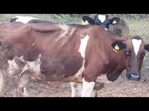 Karın Deri Yırtığı Dikişi tedavisi yaptığımız inek.