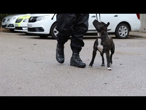UK's First Staffordshire Bull Terrier Police Dog Gets Tails Wagging