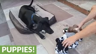 Dog picks favorite toy, then has second thoughts