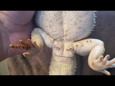 Bearded Dragon Clogged Femoral Pores...What Are  They? How Do You Care For Them????