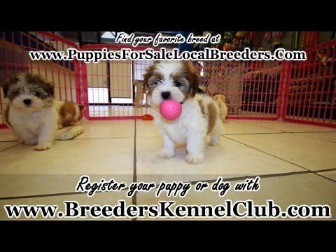 Yorkie Tzu, Puppies For Sale, In Mobile, County, Alabama, AL, 19Breeders, Tuscaloosa, Decatur