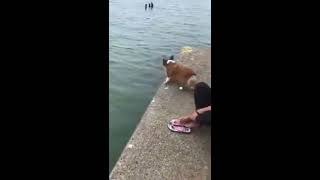 Chú chó cứu chủ nhân bị đuối nước gây cảm động về tình cảm của động vật