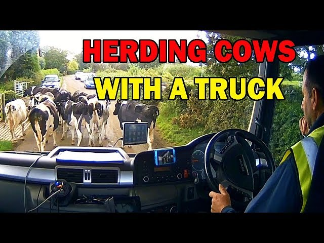 Truck Driver Herding Cows with a Concrete Lorry
