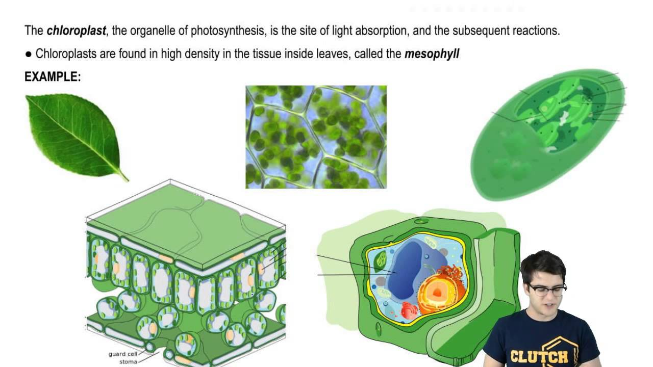 Autotrophs Heterotrophs And Chloroplasts Youtube