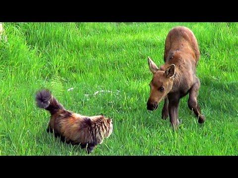 Cat Meets Moose Twins | Alaskan Cats