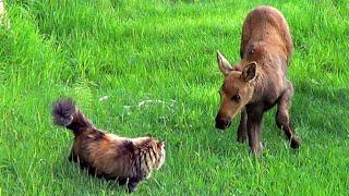 Cat Meets Baby Moose Twins #AlaskanCats