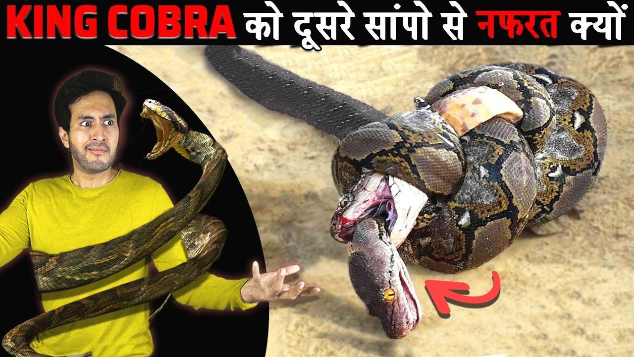 क्यों KING COBRA दूसरे SNAKES से नफरत करता है Why Does King Cobra Hate Other Snakes