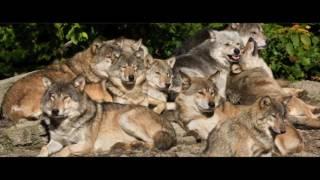 cigeas la historia que no te contaron manadas de lobos oficial warner bros pictures
